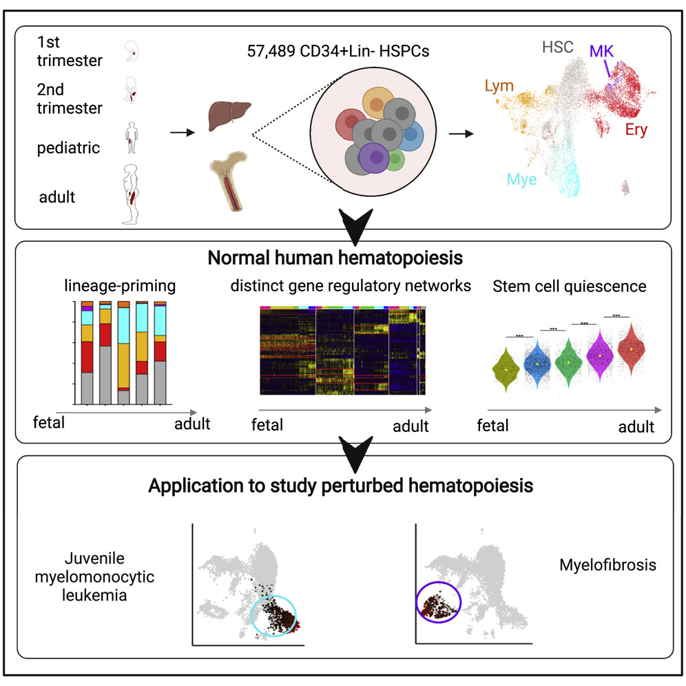 A graphical abstract for the 2021 Roy, Wang et al., paper in Cell Reports. The image shows the developmental times selected for the study alongside figures from the paper.